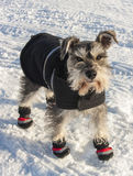Dog Wearing Coat and Boots Stock Image