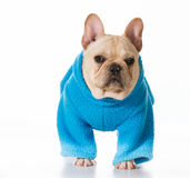 Dog wearing coat Stock Images