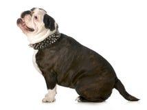 Dog wearing collar Stock Photo