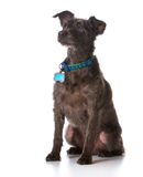 Dog wearing a collar with a name tag. On white background Royalty Free Stock Photos