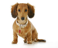 Dog wearing collar and tag. Puppy wearing collar and dog tag - long haired dachshund sitting looking at viewer Royalty Free Stock Photography