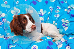 Dog wearing a cone. After being spayed stock photo