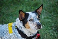 Dog Wearing Cooling Coat Stock Photo