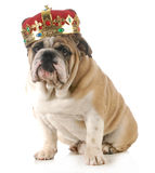 Dog wearing crown Stock Image
