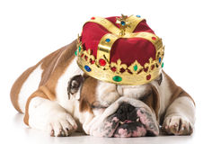 Dog wearing crown. Isolated on white - english bulldog Stock Photos