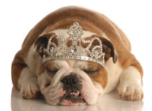 Dog wearing crown or tiara royalty free stock photography