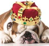 Dog wearing crown. On white - english bulldog Stock Images