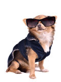 Dog wearing dark jacket and black sunglasses Royalty Free Stock Photography