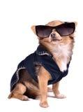 Dog wearing dark jacket and black sunglasses Royalty Free Stock Photography