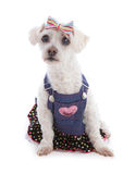 Dog wearing denim dress. Little white dog wearing a denim bib and brace dress with polka dot frill and a hair bow Royalty Free Stock Photography