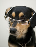 Dog is wearing elegant eyeglasses Royalty Free Stock Photo