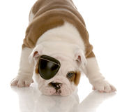 Dog wearing eye patch Royalty Free Stock Photo