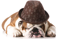 Dog wearing fedora Royalty Free Stock Photography