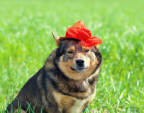 Dog wearing female red hat Royalty Free Stock Images