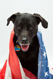 Dog wearing flag. Black Labrador mix wearing US flag Royalty Free Stock Photo