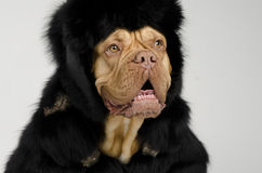 Dog wearing fur coat and cap with ear flaps Royalty Free Stock Images