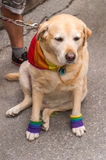 Dog wearing gay rainbow clothes Royalty Free Stock Images