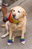 Dog wearing gay rainbow clothes Stock Photography