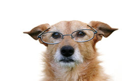 Dog wearing glasses Royalty Free Stock Image