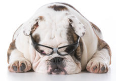 Dog wearing glasses Royalty Free Stock Photography