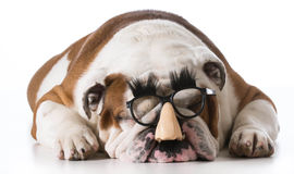 Dog wearing glasses Stock Images