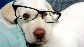 Dog wearing glasses Royalty Free Stock Image