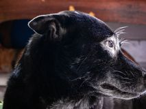 Dog wearing glasses white eye,Home,Bangkok,Thailand royalty free stock photo