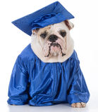 Dog wearing graduate gown Stock Photo
