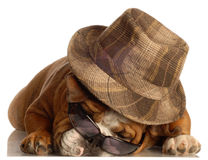 Dog wearing hat and glasses Royalty Free Stock Images