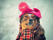 Dog wearing hat and scarf Stock Photos