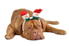 Dog wearing headwewar with funny snowmen Royalty Free Stock Image