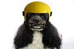 Dog wearing a helmet Stock Image