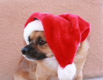 Dog wearing his santa hat. Little dog posing in his santa hat for the holidays royalty free stock image