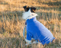 Dog Wearing Jumper Royalty Free Stock Photography