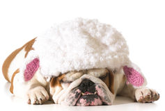 Dog wearing lamb hat Stock Photos