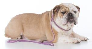 Dog wearing leash Royalty Free Stock Photo