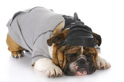 Dog wearing leather skull cap Royalty Free Stock Image