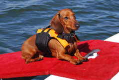 Dog wearing life vest Stock Images