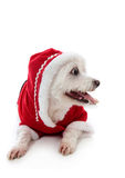 Dog wearing a little red riding hood. Small cute white pet dog wearing a warm and cosy red hooded outfit.  Looking sideways at your message.  White background Royalty Free Stock Photo