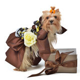 Dog wearing luxurious dress with gift box Royalty Free Stock Photo