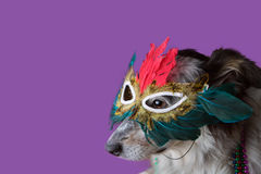 Dog wearing Mardi Gras mask. Border Collie / Australian shepherd mix dog wearing mardi gras feather mask masquerade costume and bead necklace in observance Royalty Free Stock Images