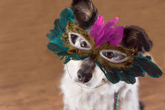 Dog wearing Mardi Gras mask. Border Collie / Australian shepherd mix dog wearing mardi gras feather mask masquerade costume and bead necklace in observance Royalty Free Stock Photo