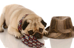 Dog wearing mens clothing Stock Photography