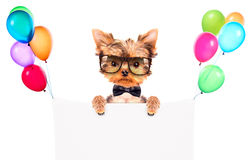 Dog wearing a neck bow and shades with banner Royalty Free Stock Photos