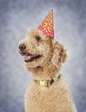 Dog wearing party hat Royalty Free Stock Photos
