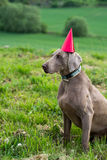 Dog wearing a party hat Royalty Free Stock Images
