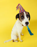 Dog wearing party hat with squeaker in mouth. On yellow background Royalty Free Stock Photography