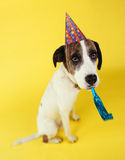 Dog wearing party hat with squeaker in mouth. On yellow background Stock Photos