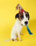 Dog wearing party hat with squeaker in mouth. On yellow background Stock Images