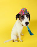 Dog wearing party hat with squeaker in mouth. On yellow background Royalty Free Stock Image